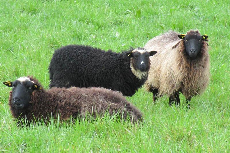 Les différents types de couleurs de laine toisons